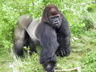 Gorilla Tino1