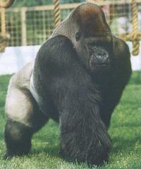 Lyttle Gorillas Gorilla 3