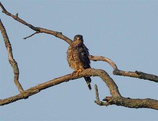 Hawk 09845 (Large)