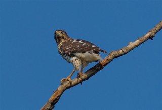Hawk Dsc7230 (Large)