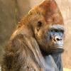 conehead gorilla
