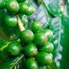 greencoffeelover